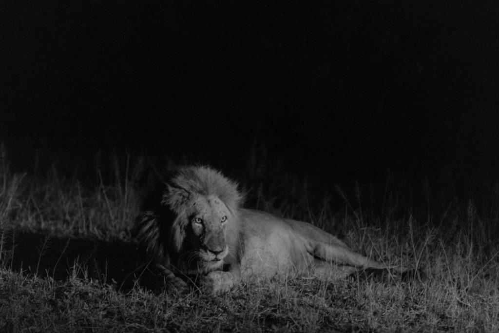Kruger Safari Lion